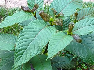 A brief introduction on kratom