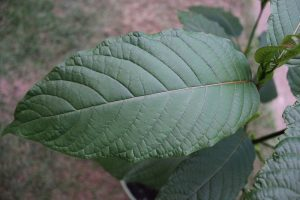 Coping and Dealing with Kratom Withdrawal